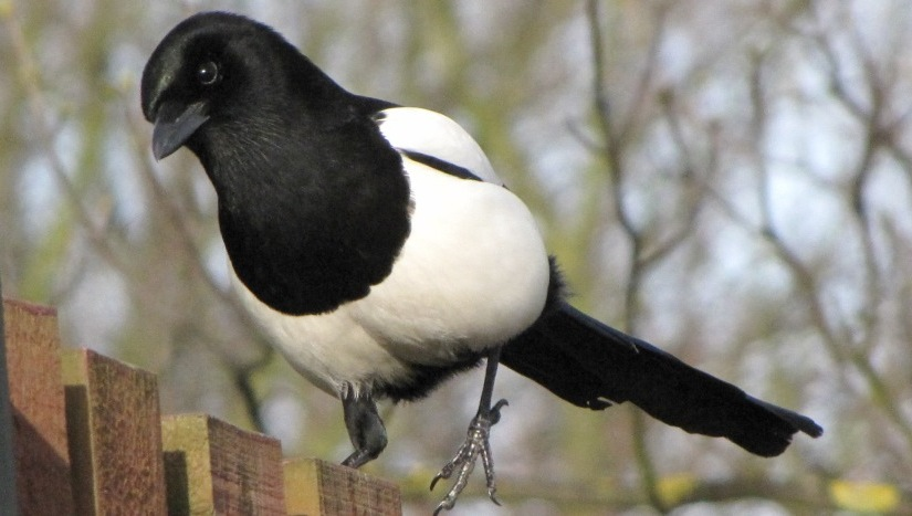 image of a curious magpie